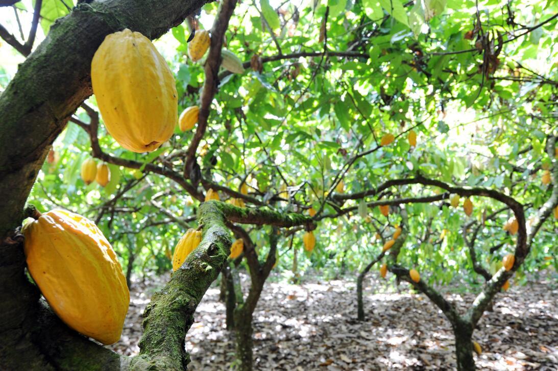 La planta del cacao es originaria de la cuenca del río Amazonas, pero co...