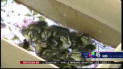 Captado en video: Rescatan a patitos