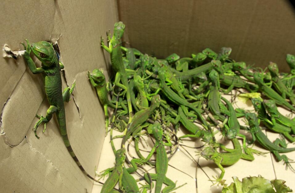 Rescued baby iguanas are pictured in a cardboard box, in an office of th...