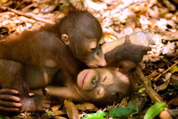 La escuela especial en Borneo les enseñará a estos pequeños cómo sobrevi...