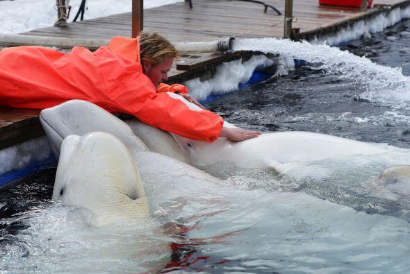 Los mamíferos fueron rescatados por Primorskiy Sea Mammal Research Centr...