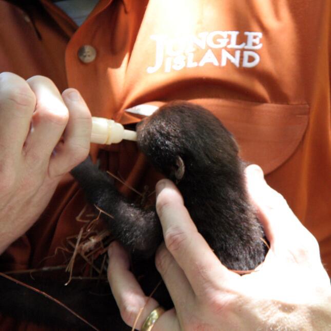 ¡Conoce al nuevo miembro de la familia de Jungle Island! Baby sloth 2 -...