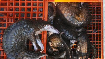 El mamífero más traficado del mundo tiene una lengua del tamaño de su cuerpo