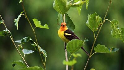 Las aves que podremos ver en los parques nacionales de EEUU dependerán del cambio climático