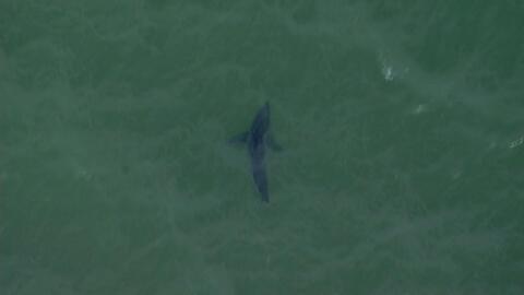 Por esto ocurre la alerta de tiburones blancos en California
