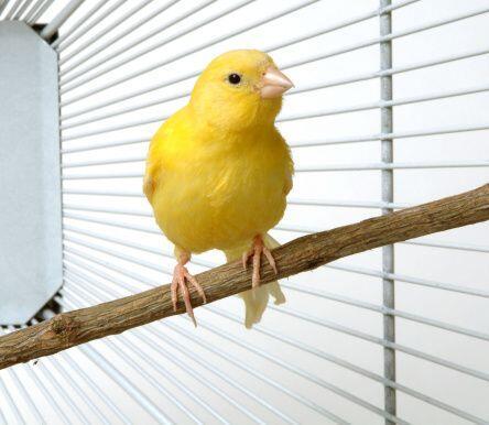 Canarios. ¿Habías pensado en que una pequeña ave puede ser una gran comp...
