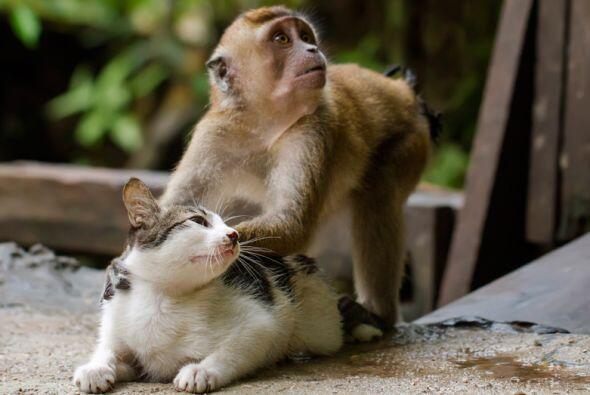 Sin duda una amistad no conoce de diferencias, este mono le da un masaje...