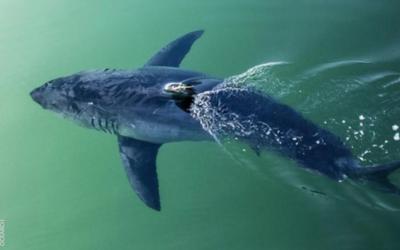 El tiburón blanco dio señales primero en Carolina del Sur...