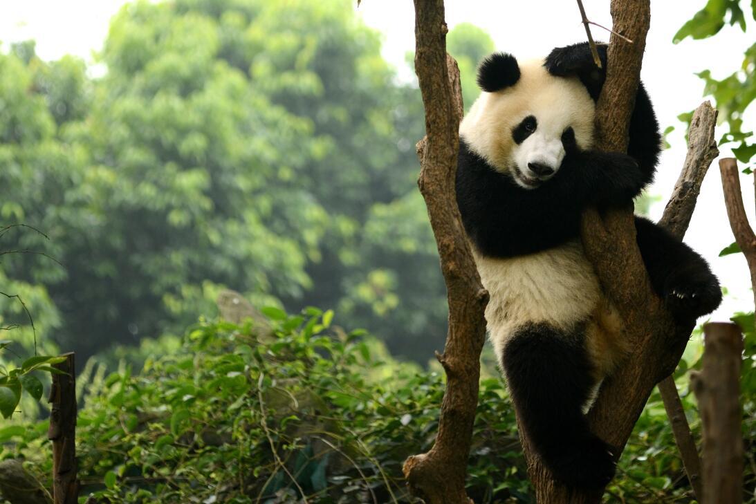 Para 'el día más romántico' del año, los pandas necesitan pornografía is...