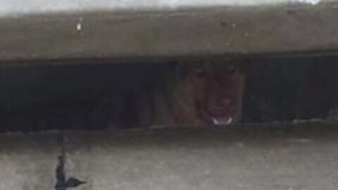 Casey, la perrita que ha vivido por seis meses en un drenaje de Grand Pr...