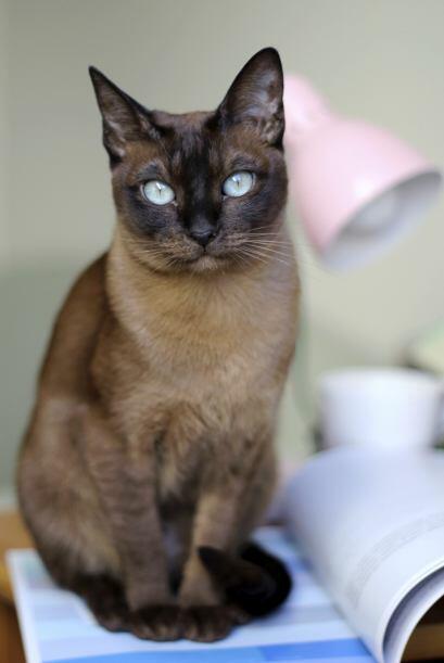 Los tonkinés tienen el récord de la camada más grande: fueron 19 gatitos...