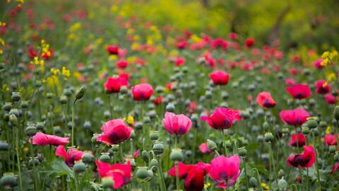 Enormes sembrados de amapola en México confirman la producci&oacu...