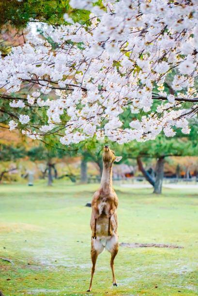 El animal se levantó en sus patas traseras sólo para oler la sakura.