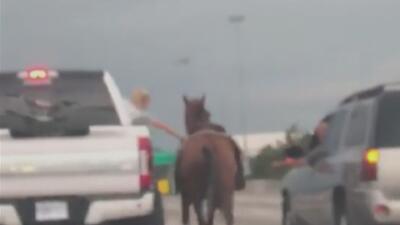 En Video: Encuentran a un caballo en una de las autopistas más concurridas de Houston