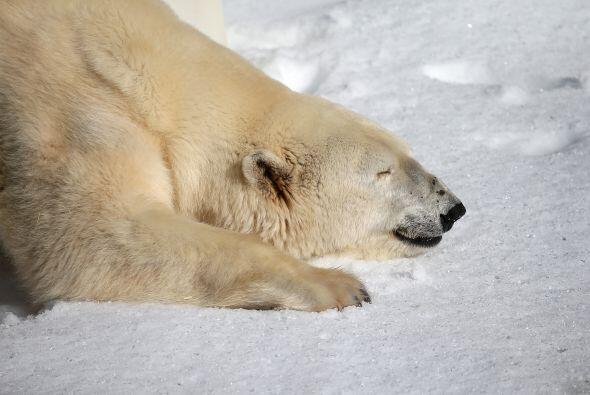 La reducción del hielo polar disminuye su posibilidad de encontra...