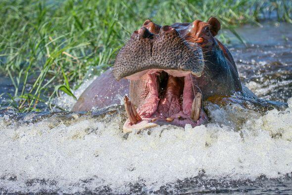 """""""Nuestro guía decidió acercarnos a una manada de hipopótamos que descans..."""
