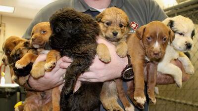 El Servicio de Cuidado Animal rescató a siete perritos, y los cuidará du...