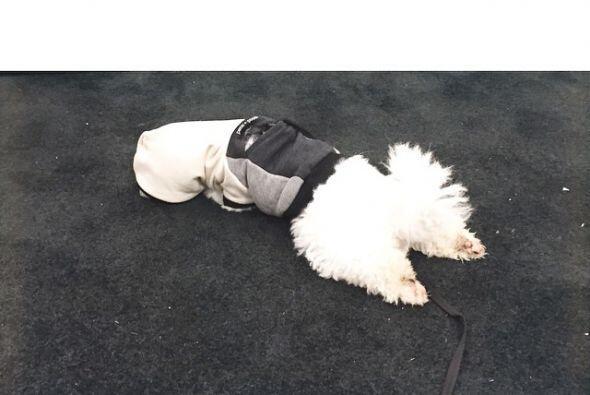 Buddy tiene tantas actividades que suele terminar agotado y dormido en e...
