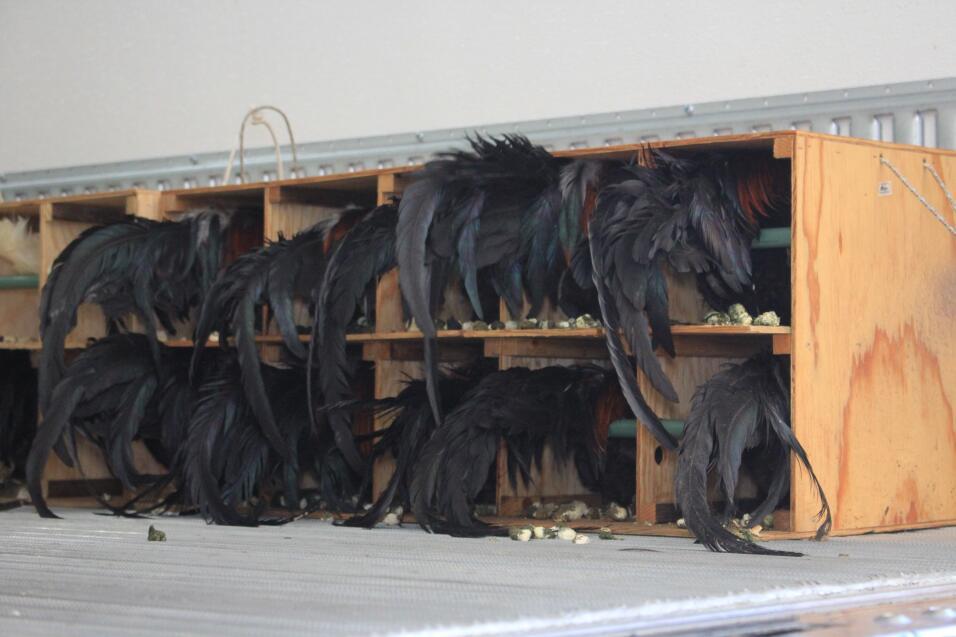 Rescatan 165 gallos y arrestan a 50 personas en un evento de peleas clan...