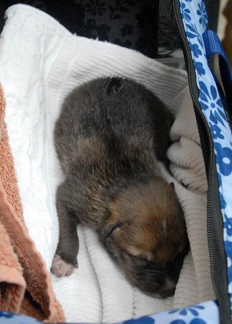 Crías de lobos gris son llevados a Arizona
