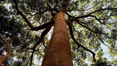 Amazonia amazonia.jpg