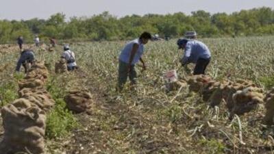 Los productores de cebollas en Georgia temen que con la escasez de traba...