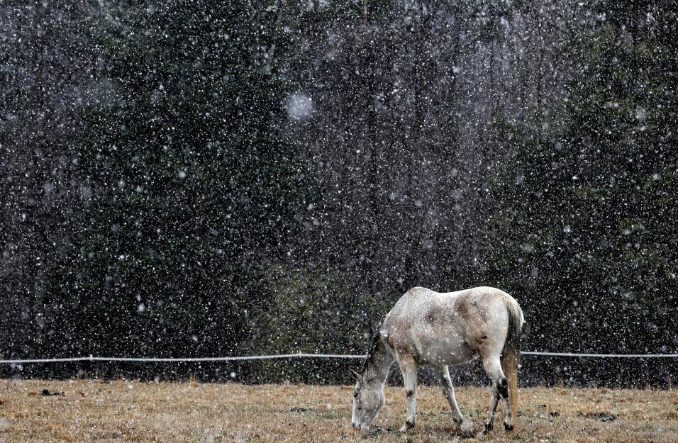 A horse grazes during a snow shower in rural Orange County near Hillsbor...