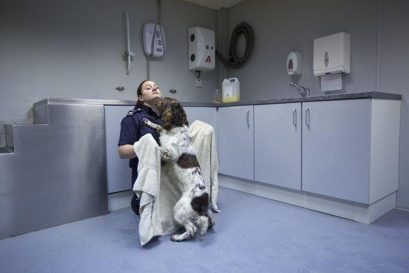 Un perro detector del Reino Unido, encontró cerca de 35 mil dólares, esc...