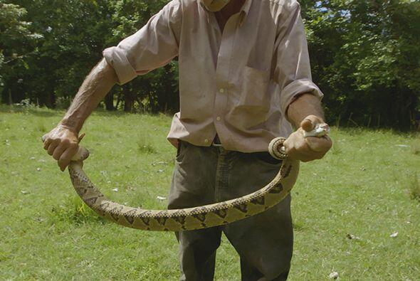 Por su parte en las culturas ancestrales mayas y aztecas, las serpientes...