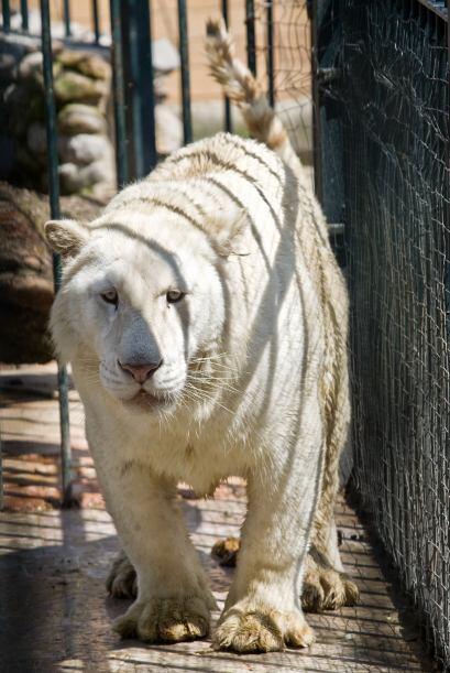 En esta propiedad fueron encontradas varias jaulas con tigres siberianos...