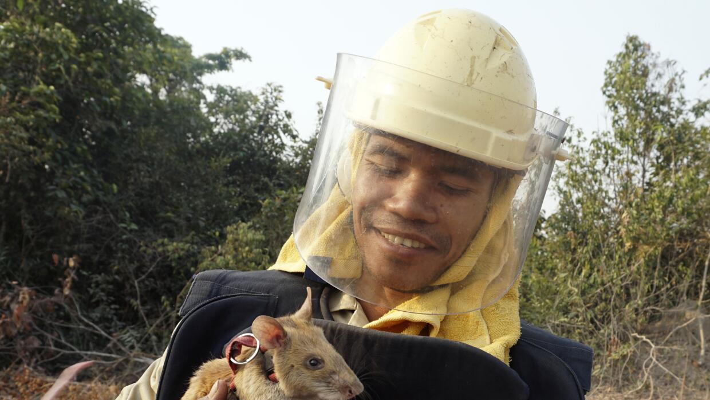 Ratas entrenadas pra buscar minas
