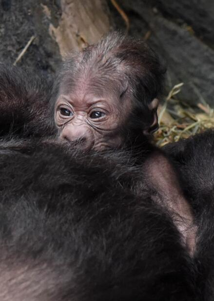 Anuncian el nacimiento de un gorila en el zoológico Brookfield....