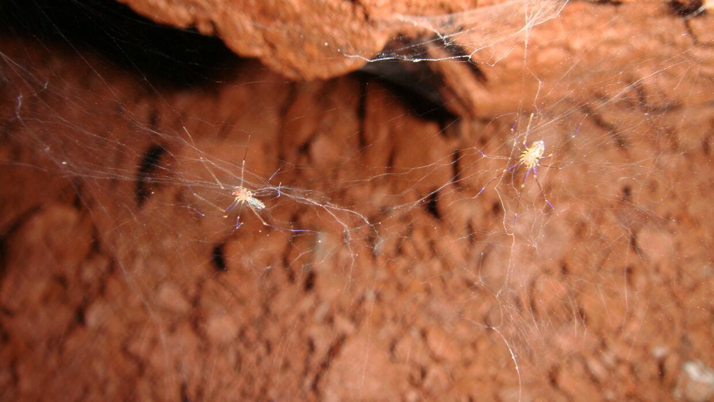 Dos especímenes de la nueva especie de araña brasilera Ochyrocera misspi...