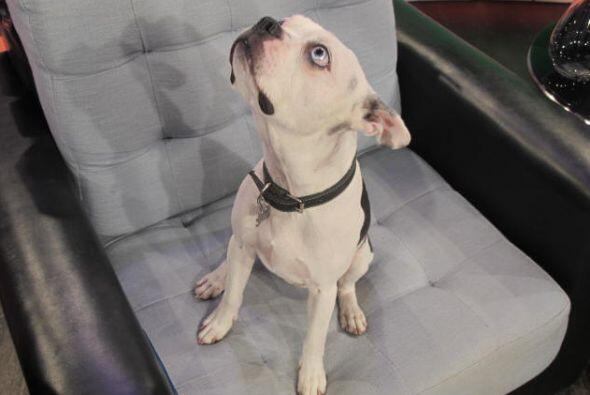 Este perro tiene un ojo oscuro y uno claro, algo muy raro entre los anim...