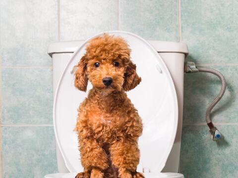 Entrena a tu cachorro para que haga pipí