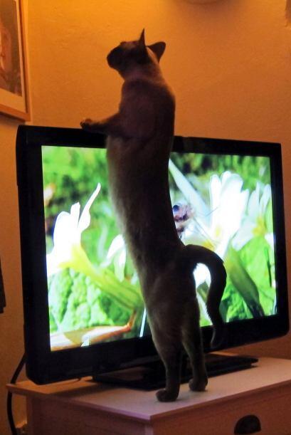 Lo más gracioso es que cuando desaparecen del televisor los busca...