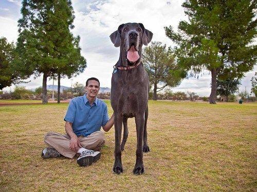 George Este gigante tiene dos récords: el de ser el perro vivo más grand...