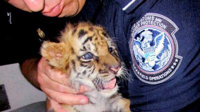 Un cachorro de tigre fue rescatado del asiento trasero de un auto deport...