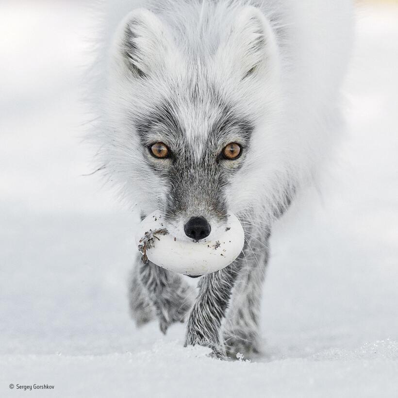 Tesoro ártico. Un zorro ártico lleva en su boca un huevo robado de un ni...