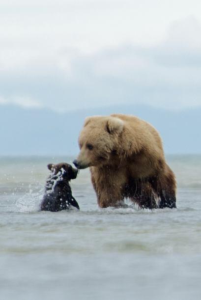 Su madre se disponía a buscar la cena cuando el pequeño oso corrió para...