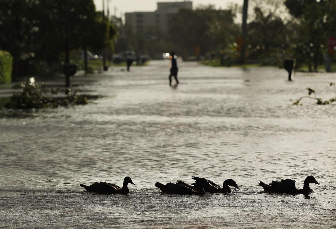 Los patos, que habitualmente nadan en estanques y lagos, esta vez lo hac...