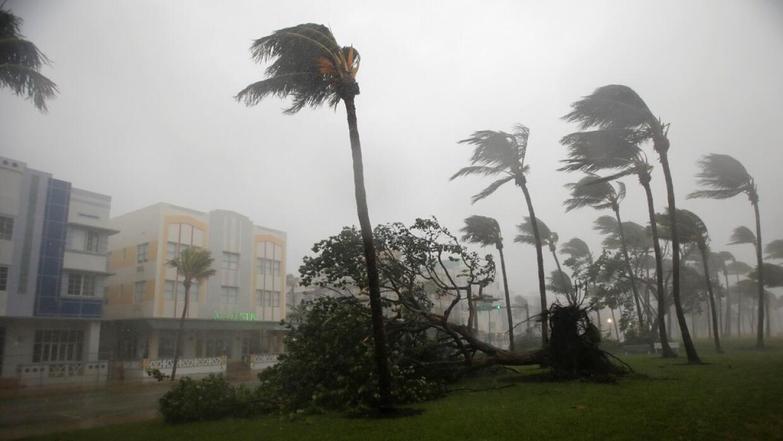 Un árbol caído por los fuertes vientos del huracán Irma en Miami Beach,...