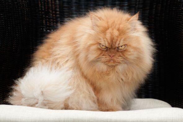 Esta mascota tiene siete años mirando al mundo con esos ojos enojones.
