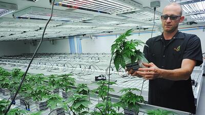 Plantación de marihuana para uso medicinal en Flandreau (Dakota d...
