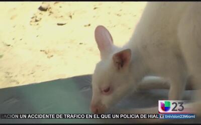 Nace canguro albino en zoológico de Rusia