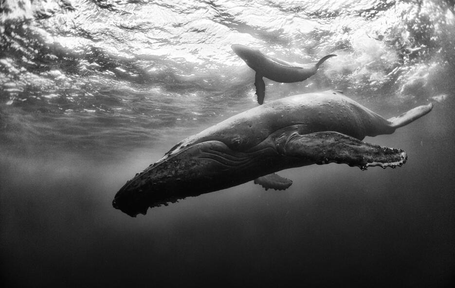 En esta imagen el fotógrafo mexicano retrata cuando la ballena madre ens...