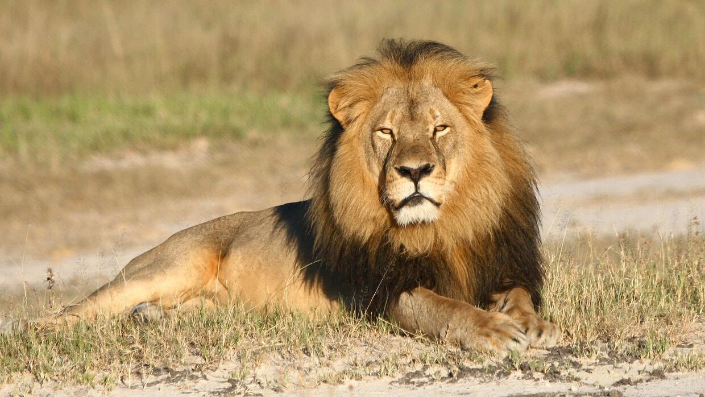 El asesinato de Cecil el león en julio del 2015 produjo gran indignación...