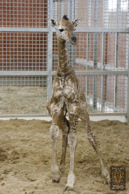 Dan la bienvenida a una jirafa en el zoológico de Dallas The Dallas Zoo'...
