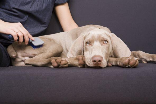 Tu veterinario podrá recomendarte el cepillo adecuado para tu pequeño am...
