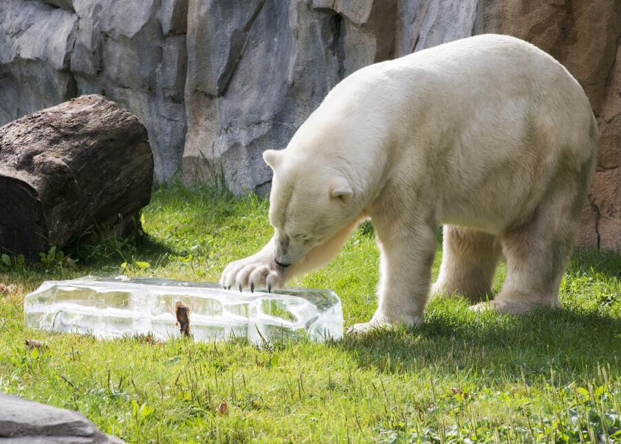 Ofrecen fresco refrigerio a animales del zoológico Brookfield
